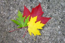 Red, Yellow, And Green Maple Leaves Stock Image