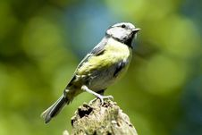 Free Blue Tit Royalty Free Stock Images - 982339