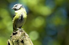 Free Blue Tit Royalty Free Stock Images - 982349
