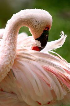 Free Pink Flamingo Royalty Free Stock Image - 982706