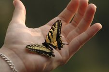 Free Tiger Swallowtail Stock Photography - 983132