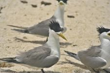 Free Tern Royalty Free Stock Photography - 983157
