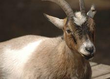 Free Goat Stock Photography - 983162