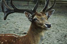 Spotty Deer Stock Photos