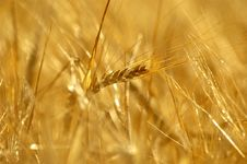 Free Close Up From Wheatfield Stock Photography - 984572
