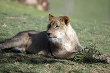 Free Lion At Rest Royalty Free Stock Photos - 984948