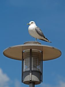 A Seagull On Electric Lamp Pole Royalty Free Stock Images
