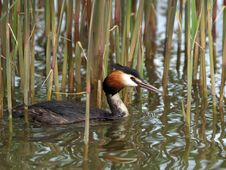 Free Cock Of The Great Crested Grebe Stock Image - 987931