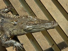 A Crocodile In Floating Village Stock Images