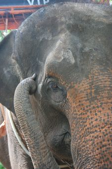 Free Elephant Close Up Stock Photos - 988273