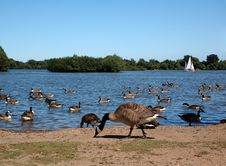 Free Geese At Lake Stock Images - 988614