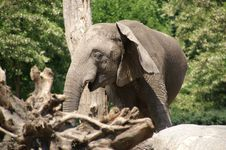 Free Elephant By Tree 1 Royalty Free Stock Photo - 988665