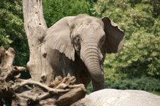 Elephant By Tree 2 Royalty Free Stock Photography