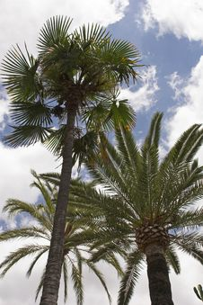 Free Palm Trees & Sky Royalty Free Stock Photos - 988718