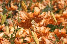 Free Lilies Stock Photos - 989833