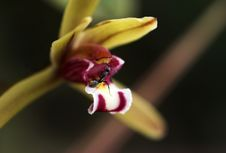 Ant And Orchid Flower Royalty Free Stock Images