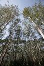 Free Eucalyptus Stock Photos - 9808523
