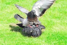 Free PIGEONS IN LOVE Stock Photography - 9801782