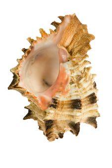 Free Seashell  Isolated On White Background Stock Photography - 9801802
