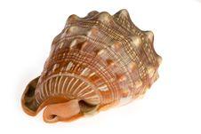 Free Seashell  Isolated On White Background Royalty Free Stock Photos - 9801868