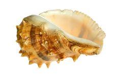 Free Seashell  Isolated On White Background Royalty Free Stock Photos - 9801888