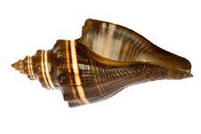 Free Seashell  Isolated On White Background Stock Photo - 9801920