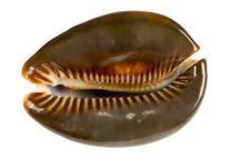 Free Seashell  Isolated On White Background Stock Image - 9801941