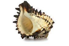 Free Seashell  Isolated On White Background Stock Image - 9801961
