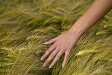 Free Wheat Ear Stock Image - 9802361