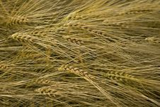 Free Wheat Ear Stock Images - 9802384