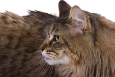 Free Cat Portrait, Maine Coon Royalty Free Stock Photo - 9803085