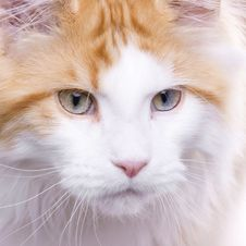 Free Cat Portrait, Maine Coon Stock Photography - 9803092
