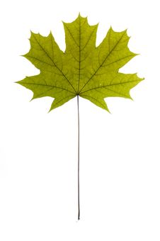 Free Dry Green Maple Tree Leaf Royalty Free Stock Photography - 9804207
