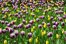 Free Tulip Garden Royalty Free Stock Photos - 9804308