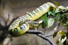 Free Snake Royalty Free Stock Image - 9804466