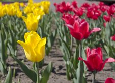 Free Red And Yellow Tulips Royalty Free Stock Photo - 9804635