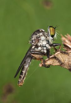 Free Robberfly Green Background Stock Images - 9805214