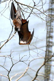 Free Bat 3 Royalty Free Stock Photos - 9806028