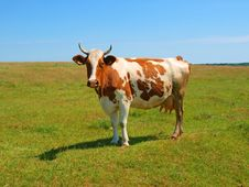 Free Cow On A Pasture Royalty Free Stock Photography - 9806107