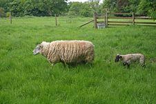 Free Sheep Stock Photography - 9807262