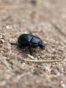Free Dung Beetle Stock Images - 9807344
