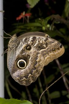 Free Owl Butterfly Macro 3 Stock Photo - 9808810