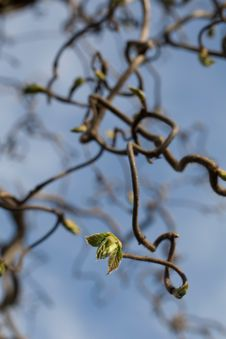 Free Small Spring Leaf On Twisted Branch Stock Photo - 9809210