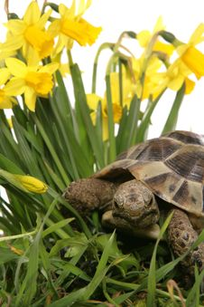 Hermann Tortoise In Daffodils Royalty Free Stock Images