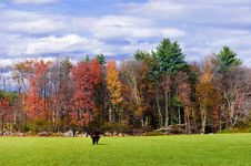 Free Bull In A Field In Autumn Royalty Free Stock Images - 9809729