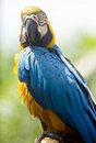 Free Blue And Yellow Macaw Stock Images - 9818684