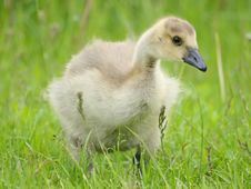 Free Canada Gosling Stock Images - 9817964