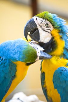 Free Blue And Yellow Macaw Royalty Free Stock Images - 9818929