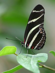 Free Zebra Butterfly1 Royalty Free Stock Photography - 9819537