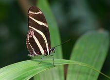 Free Zebra Butterfly2 Stock Photography - 9819542